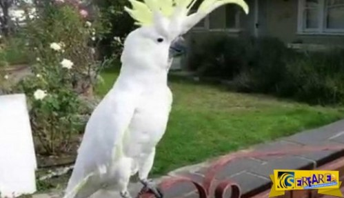 ΤΡΕΛΟ ΓΕΛΙΟ: Παπαγάλος στην Αυστραλία τραγουδάει… «Σαν πας στην Καλαμάτα»