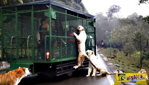 Εκεί που τα ζώα κυκλοφορούν ελεύθερα και οι επισκέπτες μπαίνουν σε κλουβιά!