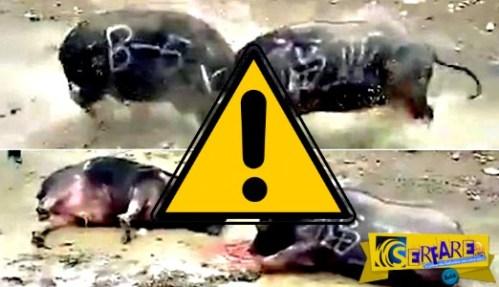Σοκαριστικό βίντεο δείχνει δύο βούβαλους να αλληλοσκοτώνονται με μια κουτουλιά!