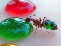 Surprising-Science-multicolor-ants-1