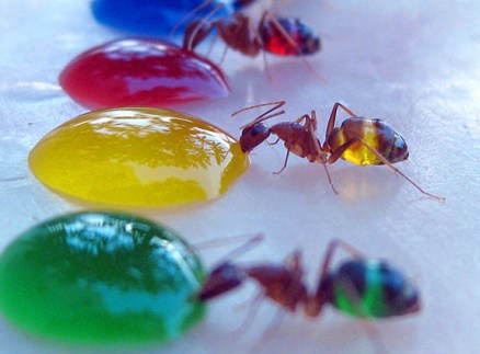 Surprising-Science-multicolor-ants-3