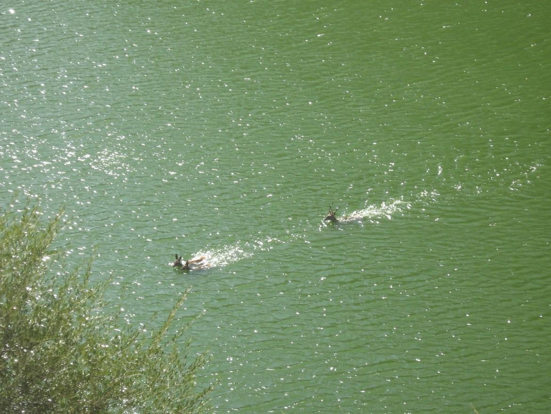 Detalle del ciervo nadando en el río y persiguiendo a dos ciervas