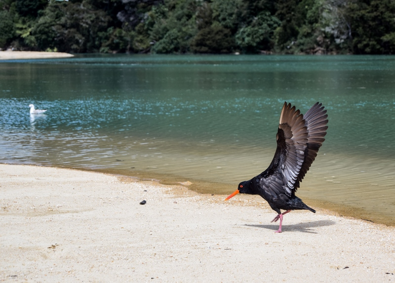serial-travelers-nouvelle-zelande-roadtrip-randonnee-abel-tasman-apple-tree-bay-oiseau-huitrier-2