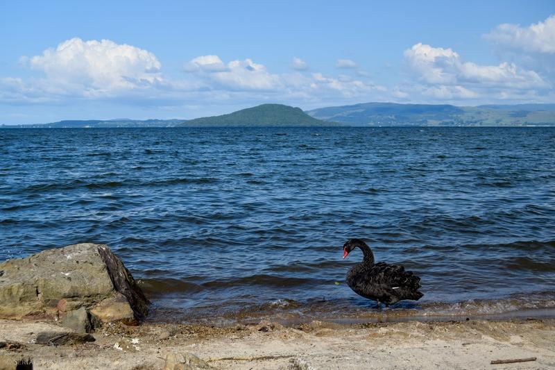 serial-travelers-nouvelle-zelande-rotorua-lac-rotorua-camping-willowhaven-cygne-noir-black-swan