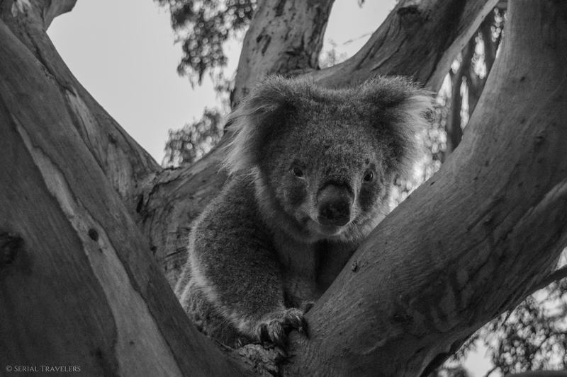 serial-travelers-australie-great-ocean-road-kennett-river-koala-selfie-4