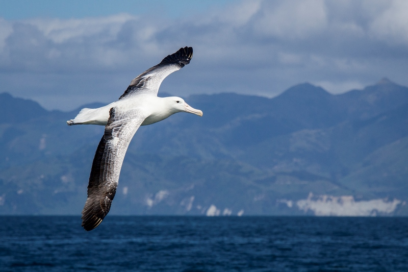 serial-travelers-kaikoura-whale-watch-albatros