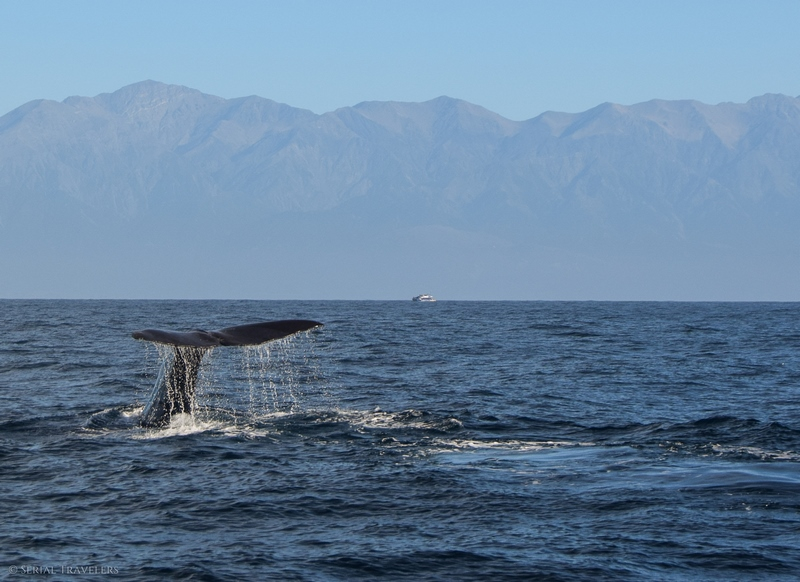 serial-travelers-nouvelle-zelande-kaikoura-whalewatch-cachalot-queue-montagne-2