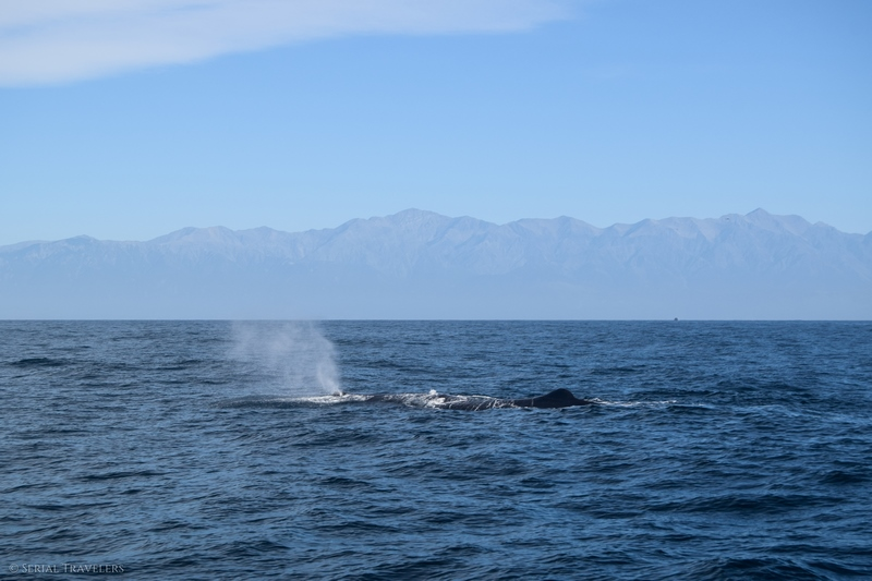serial-travelers-nouvelle-zelande-kaikoura-whalewatch-cachalot-sperm-whale