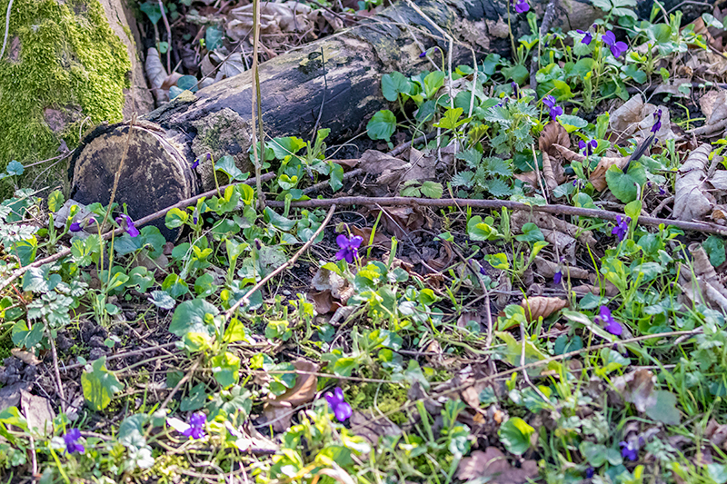 Wild Viloets