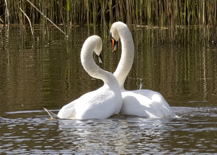 two swans intertwining