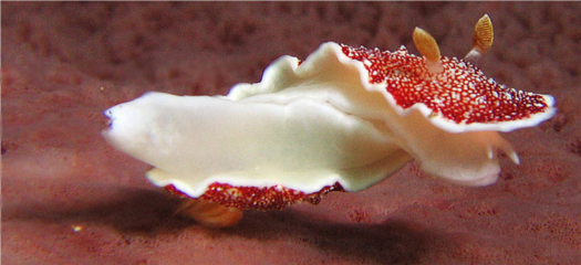 After mating, the Goniobranchus reticulata sea slug runs home to put his disembodied penis under his pillow for the Penis Fairy.