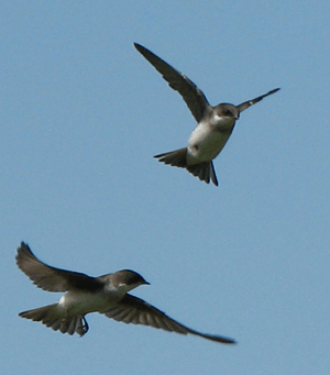 Thanks to selective breeding, longer winged swallows have also evolved wingspan envy.