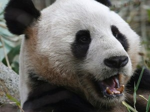 """""""Females say they want to get with a nice, cuddly panda. But they always end up with some assh*le."""""""
