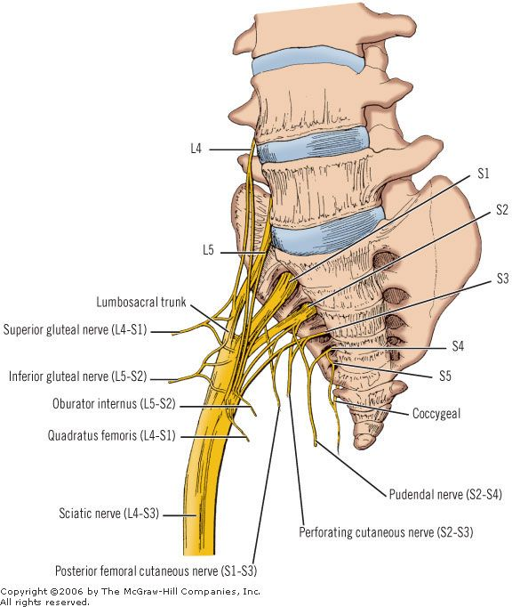 foot nerve endings diagram videx door entry phone wiring anatomy of the sciatic – seriously