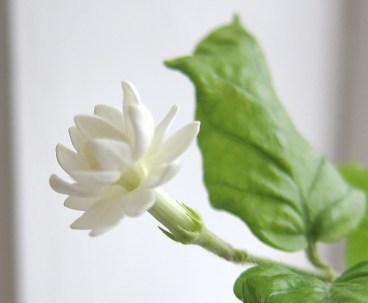 Jasminum Sambac, arabisk jasmin