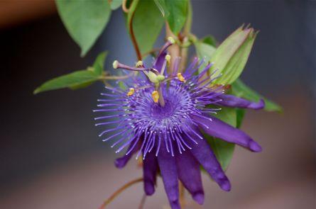 passiflora cary
