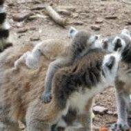 Lémures
