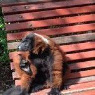 Un lémur rojo sentado en un banco tomando el sol plácidamente y ajeno a todos los flashes de las cámaras.