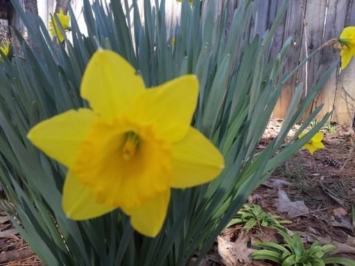 out backyard daffodil