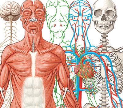 Diagram Of Germs Organ Systems At Work Interactive L6 3 Scigen Serp