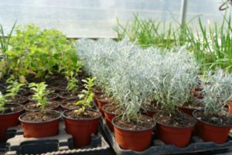 Helichrysum italicum (2)