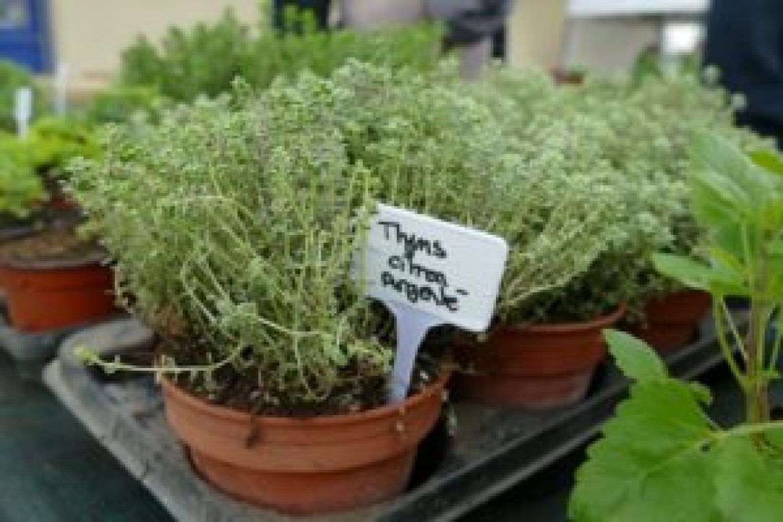 Thym citron argente (3)