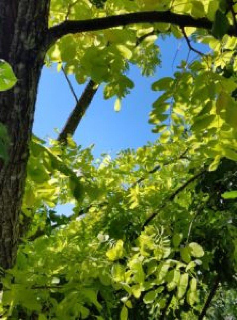 Robinier faux acacia doré à la serre ô délice