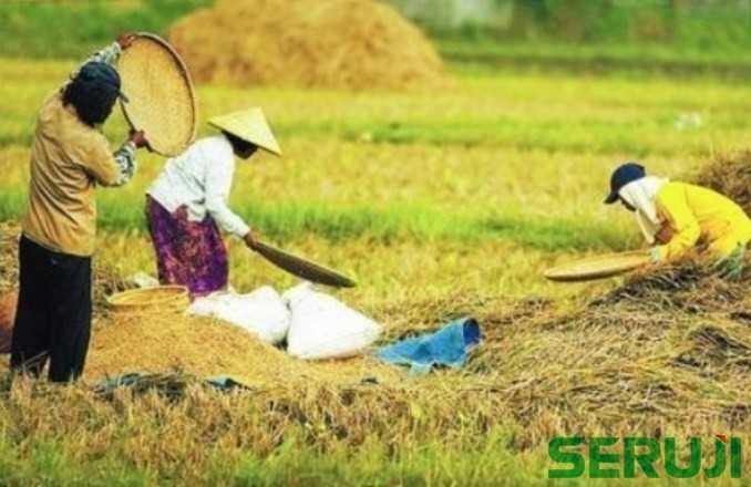 Petani panen padi
