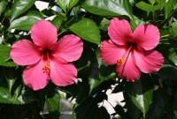 19 Manfaat Bunga Kembang Sepatu