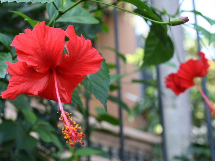 19 Manfaat Bunga Kembang Sepatu Yang Harus Kamu Tahu