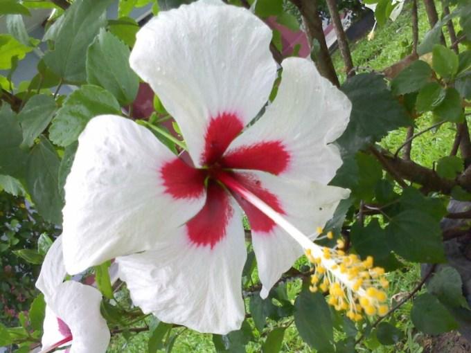gambaran bunga kembang sepatu