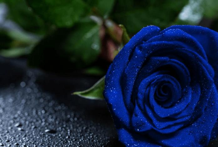 gambar bunga mawar biru