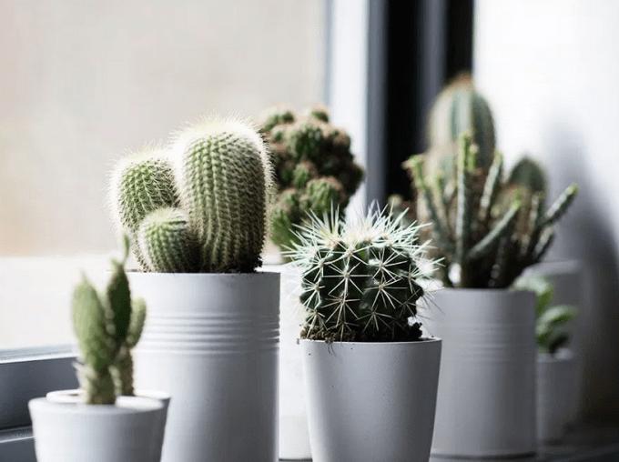 8 Cara Merawat Kaktus dan Sekulen Hias Bagi Pemula