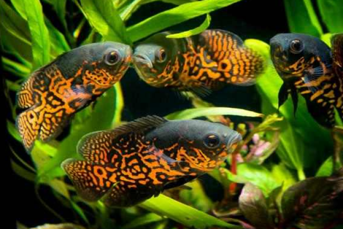 12 Jenis Ikan Hias Cantik dan Mudah Dipelihara