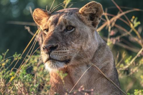 lionness (2)