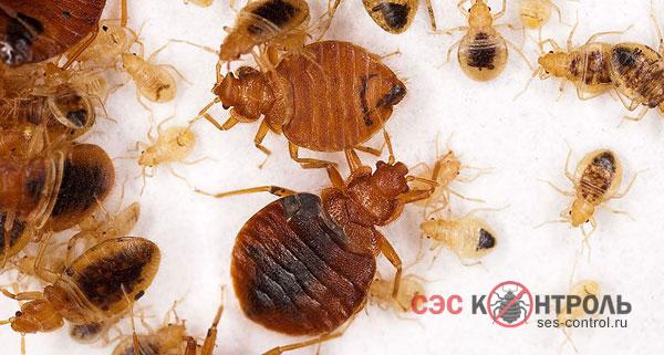 Bed Bugs ในอพาร์ตเมนต์