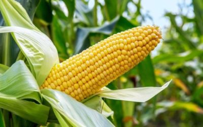 Three Great Reasons Why You Should Go Into Maize Farming
