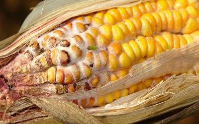 Grain spoilage and grain loss