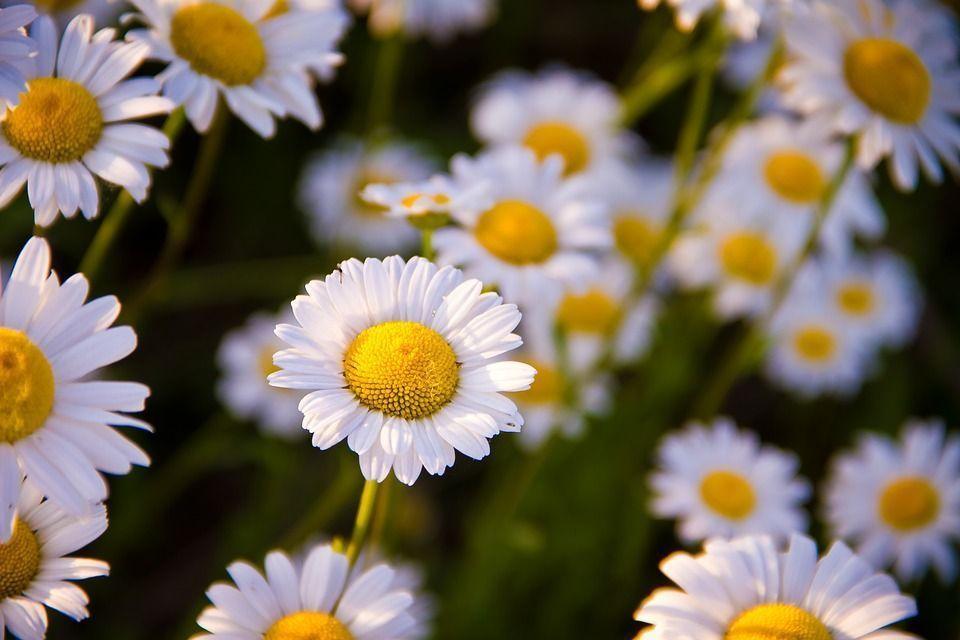 Les fleurs de camomille, de la lumière qui rayonne, comme son hydrolat