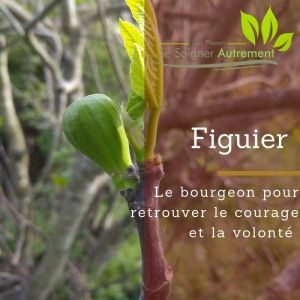 Fiche solution-phyto #5 – Bourgeon de Figuier
