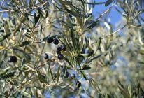 Le bourgeon d'olivier est tourné vers le cœur et le sang