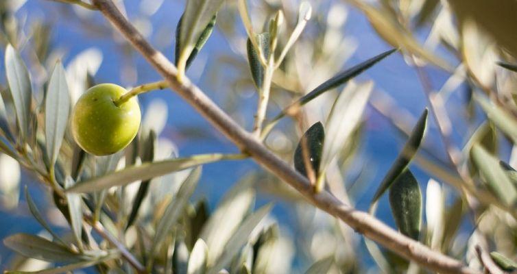bourgeon d'olivier