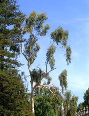 L'huile essentielle d'eucalyptus citronné est particulièrement efficace sur tous les problèmes articulaires et musculaires
