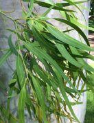 L'huile essentielle d'eucalyptus citronné, apaise autant qu'elle peut rebuter