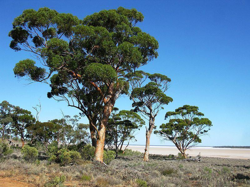 Le santal blanc, un arbre sacré