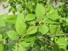 l'orme, l'arbre de la transition