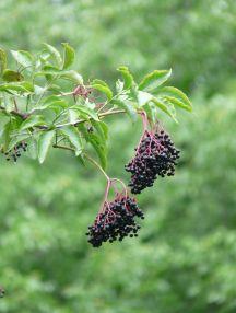 Sureau noir (Sambucus nigra) = fruit en bas