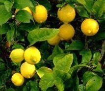 essence de citron