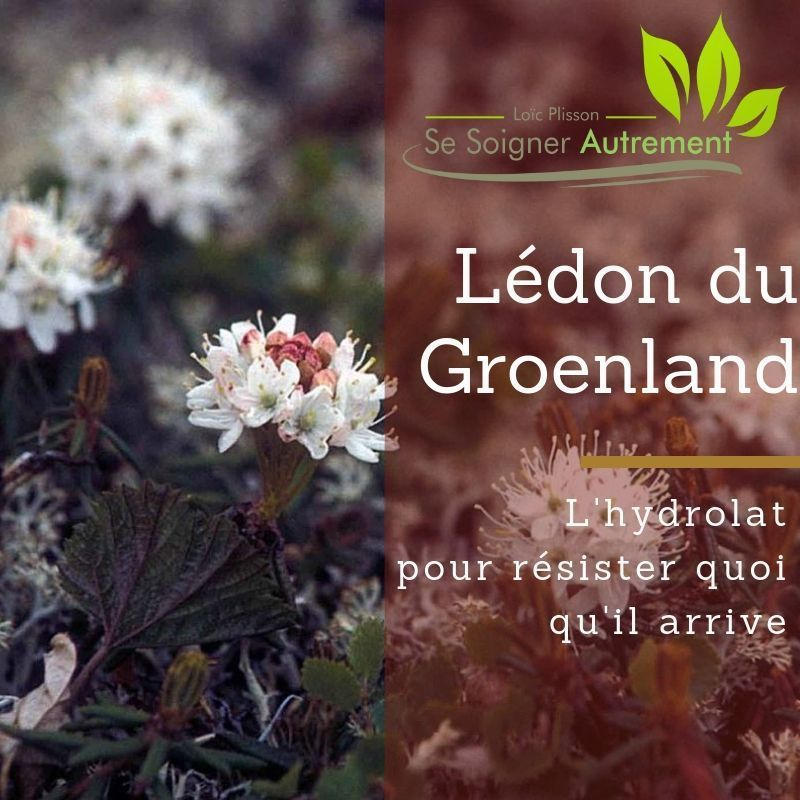 L'hydrolat de lédon du groenland