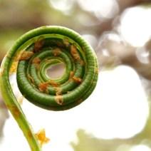 Elaphoglossum spp.